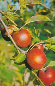 Canada World Famous Nova Scotian Apples Annapolis Valley