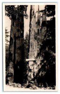 RPPC LA HONDA CA~ Large REDWOOD TREE Canyon Road 1930s San Mateo County Postcard