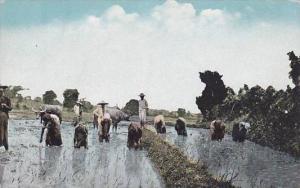 Rice Planting, Philippine Islands, 1900-1910s