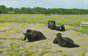 Siberian Yak Alberta Game Farm Edmonton Alberta Canada