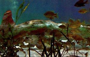 FLorida Silver Springs Underwater Scene With Fresh Water Bream