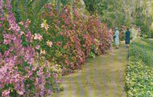 South Carolina Charleston Magnolia Gardens Beautiful Azaleas Along Walking Path