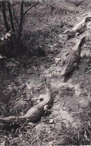 Madagascar Antsirabe Crocodiles Real Photo