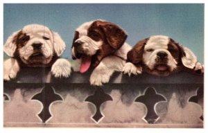 Dog ,  Saint bernard Puppies