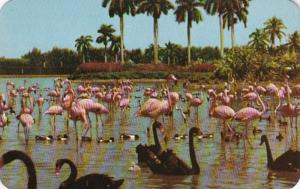Florida Miami Hialeah Race Course Flamingos & Swans On The Infield Lake 1954