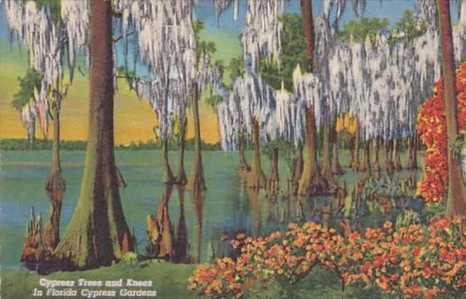 Cypress Trees In Florida Cypress Gardens Curteich
