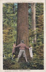Pennsylvania Allegheny National Forest Large Veteran White Pine Tree 1931