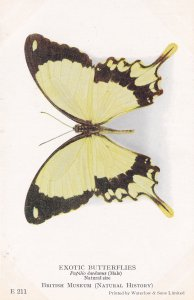 Papilio Dardanus Male Exotic Butterfly Butterflies Old Rare Museum Postcard