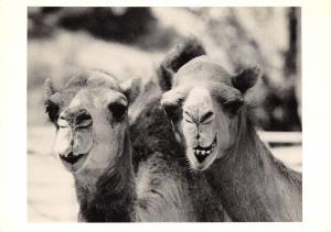 Postcard Camels, USA by Miriam Austerman (1973) #C