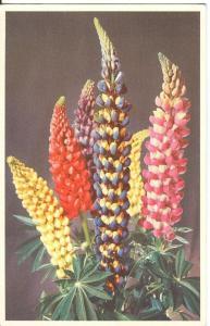 Lupin, Valentine's Flower Series, unused Postcard