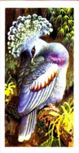 Brooke Bond Trade Card Tropical Birds No 48 Victoria Crowned Pigeon