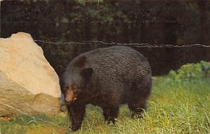 Bear Post Card Native Black Bear Great Smoky Mountains National Park, USA Unused