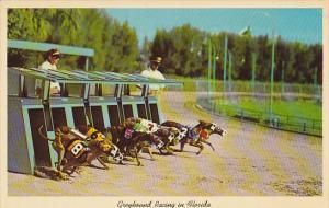Breaking The Starting Box Greyhound Racing In Florida