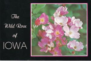 Iowa State Flower The Wild Rose