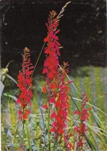 Flowers Cardinal's Flower Protected New York State Flower