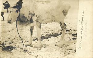 Nome, Alaska, Reindeer (1905) RPPC