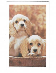 Two Adorable Dogs Golden Cocker Spaniels