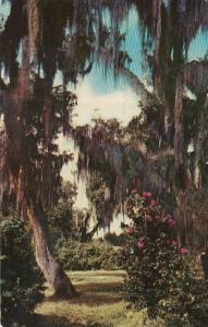 Live Oaks and Camellias New Orleans Lousiana 1958