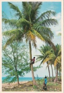 Bahamas Bahamians Climbing For Coconuts