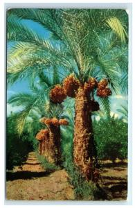 Postcard Date Palms SW C40