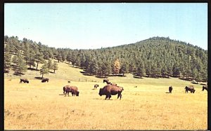 USA Postcard  Buffalo Herd at Genesee Mountain Park West of Denver Colorado