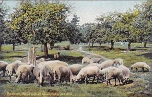 Flock Of Sheep Oaklands Estate Gardiner Maine
