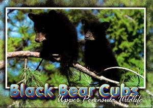 Michigan Upper Peninsula Wildlife Black Bear Cubs