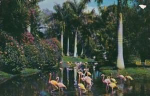 Florida Sarasota Jungle Gardens Flamingos