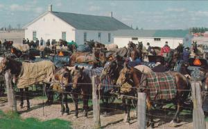 Horses, Near Kitchener, Mennonite Gathering, Elmira, Ontario, Canada, 1940-1960s