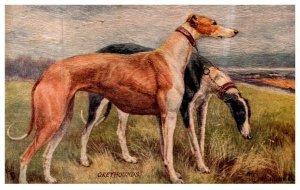 Dog  , Greyhounds