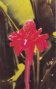 Fragrant Torch Ginger from Guam, 40-60s