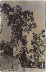 EUCALYPTUS TREES RPPC