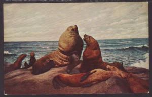 Northern Sea Lion Postcard