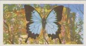 Brooke Bond Tea Vintage Trade Card Butterflies Of The World No 22 Papilio Uly...