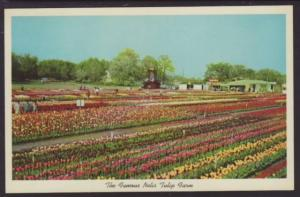 Nelis Tulip Farm Holland MI Postcard 4677