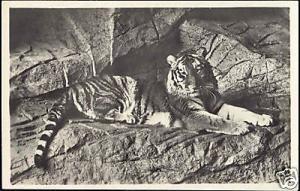 germany, HAMBURG, Hagenbeck's Zoo, TIGER (1930s) RPPC