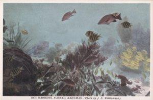 Nassau Bahamas - Caribbean fish in SEA GARDENS 1920s
