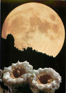 Full Moon Saguaro Blooms in Arizona Desert Mojave Night Scene   Postcard  # 8414