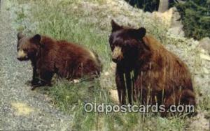 American Black Bear Postcard, Bear Post Card Old Vintage Antique  American Black