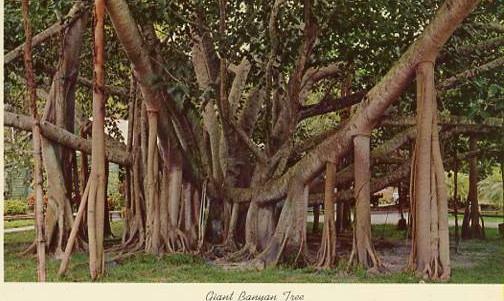 FL - Giant Banyan Tree