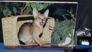 STD Surprised Cat  From Cats and Kittens Postcards Dover Publications 1983