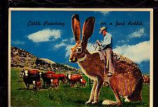 Cattle Punching,Jack Rabbit,Exaggerated Postcard