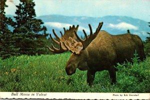 Alaska Bull Moose In Velvet 1973