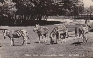 South Africa Zebra Park Johannesburg Zoo Real Photo