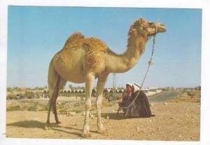 Jerusalem, Israel, Beersheba & Camel, outskirts of town 60-70s
