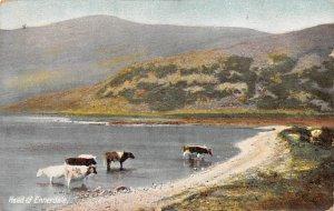 Head of Enerdale Cow 1917