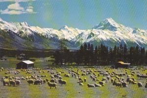New Zealand High Country Sheeo Scene Glentanner Station Tasman Valley