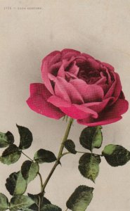 Papa Gontier Rose Flower , 00-10s
