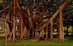 Hawaii Maui Giant Manyan Tree 175 Feet Spread
