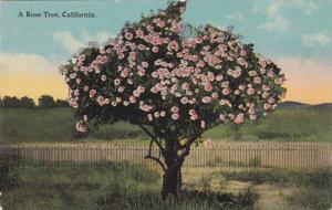 A Rose Tree, California,  00-10s